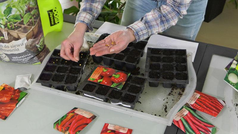 Wysiew pomidorów, papryki i oberżyny.