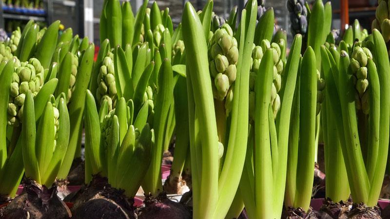 Luty w ogrodzie – 03.02-09.03 – kalendarz ogrodnika