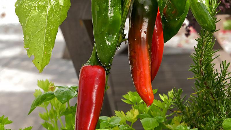 Warzywa uprawiane w donicach