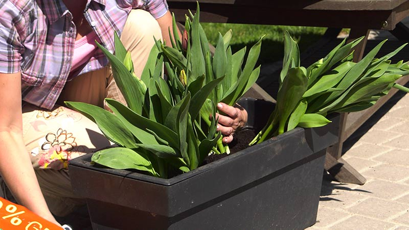 Tulipany – jak uprawiać tulipany w donicach