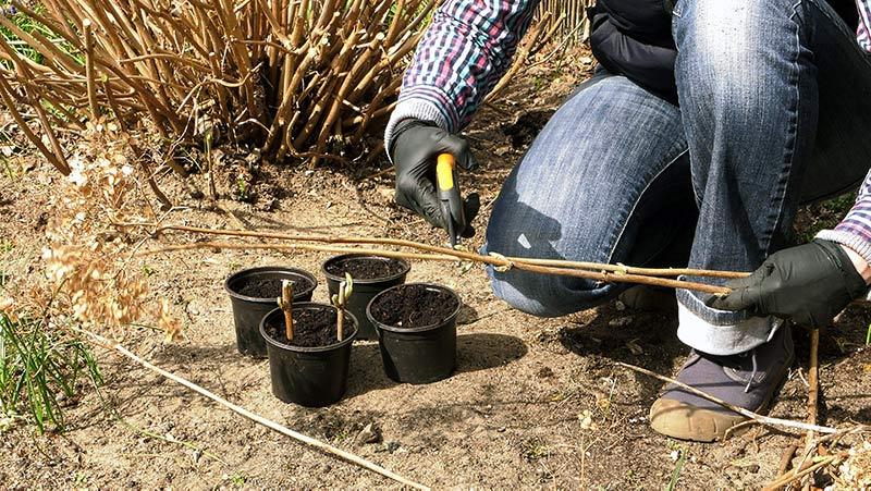 Przycinanie lawendy, nawożenie trawnika i rozmnażanie hortensji