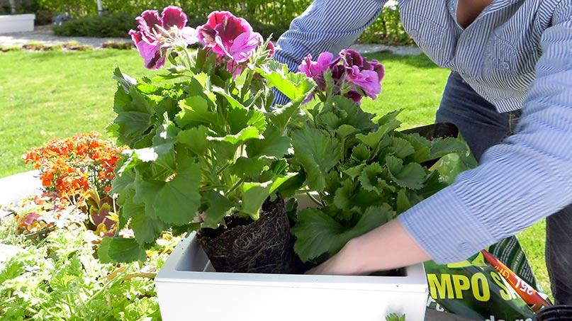 pelargonie wysiew, pelargonie angielskie, pelargonia geranium, kwiaty na balkon, kwiaty na taras