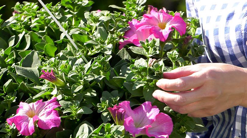 Surfinie jak sadzić i ciekawe odmiany