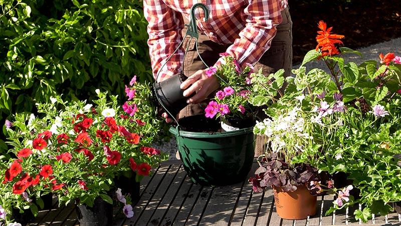 Petunie calibrachoa – kwiaty na balkon i taras