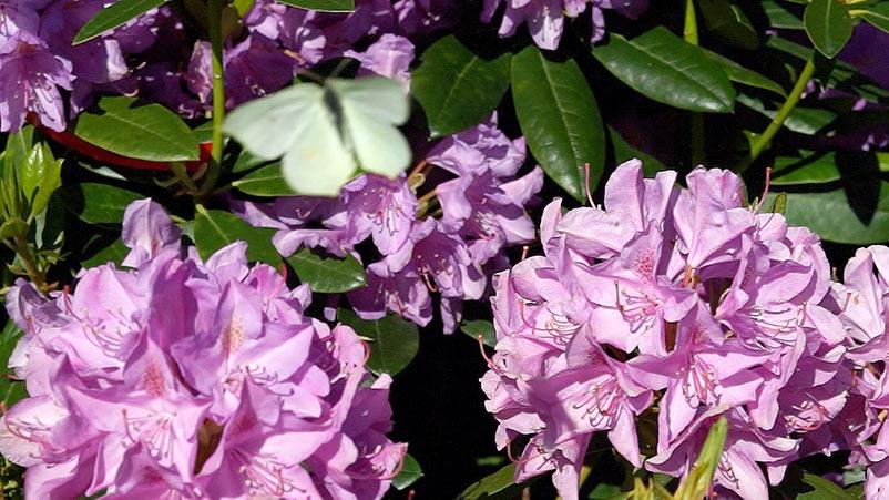 Rododendrony – pobudzanie. Trawnik – choroby grzybowe.