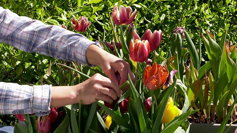 Rośliny cebulowe ponowne kwitnienie za rok