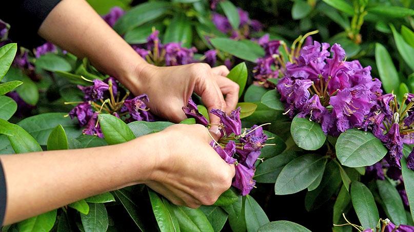 Maj w ogrodzie – 25.05 -31.05 – kalendarz ogrodnika