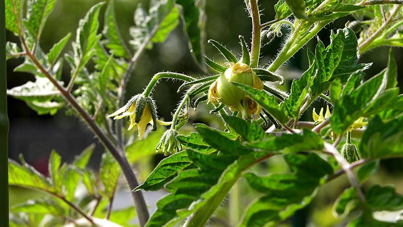 Pomidory oprysk zapobiegawczy i sadzenie arbuzów