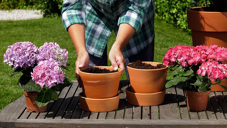Hortensje – uprawa hortensji w donicach