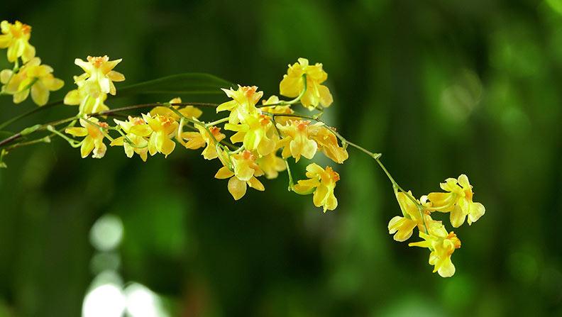 Storczyki w żółtym kolorze