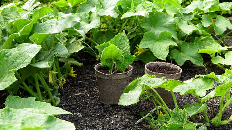 Ogórki – uprawa i rozmnażanie