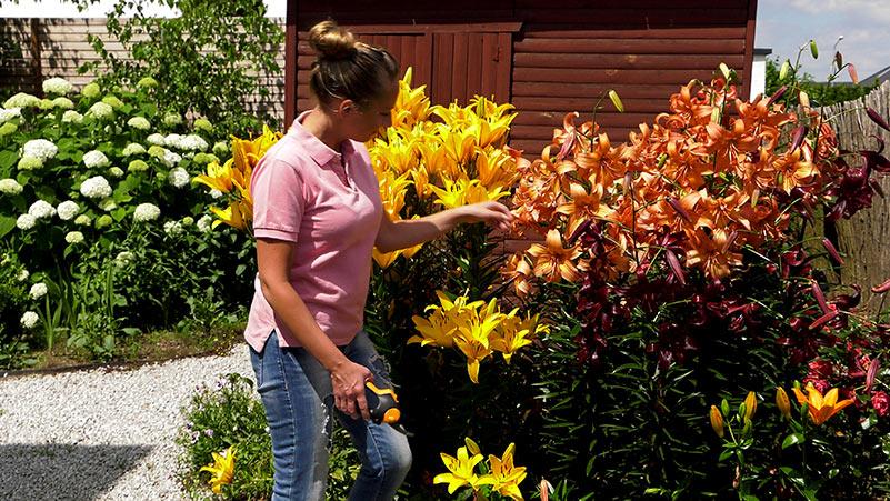 Ogród ozdobny – lilie, zaraza ogniowa i pielęgnacja trawnika.