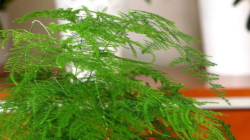 Asparagus - uprawa i pielęgnacja