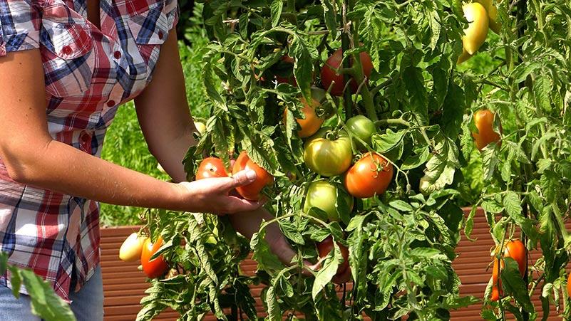 Wrzesień w ogrodzie – 31.08 -06.09 – kalendarz ogrodnika