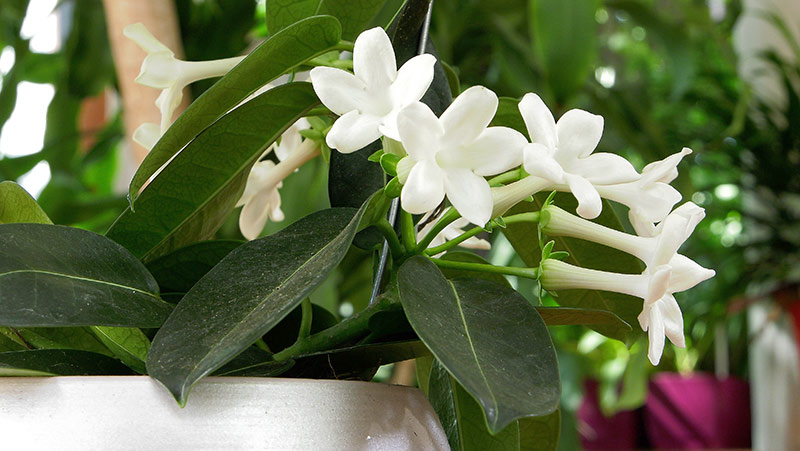 Stefanotis – pięknie kwitnie i pachnie