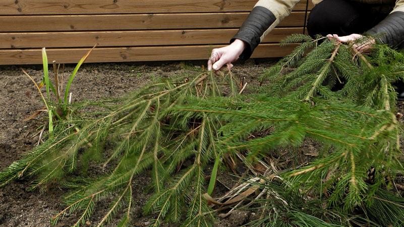 Styczeń w ogrodzie – 11.01 -17.01 – kalendarz ogrodnika