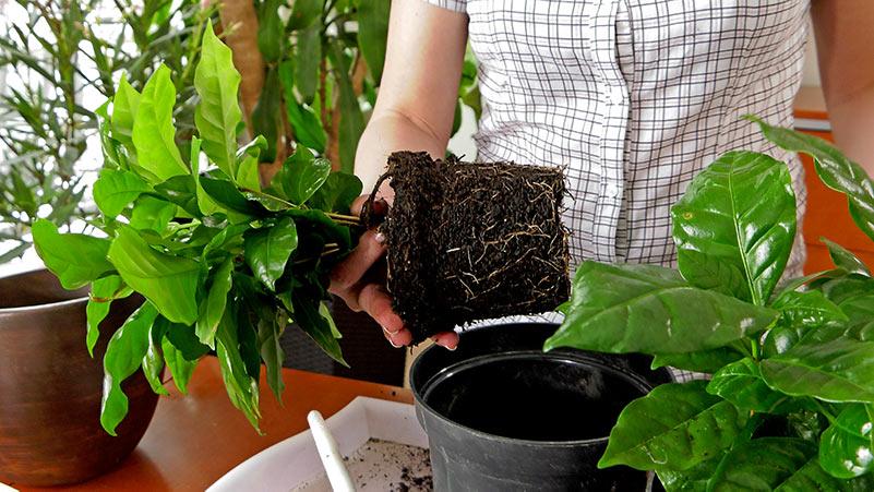 Kawa arabska – uprawa i pielęgnacja