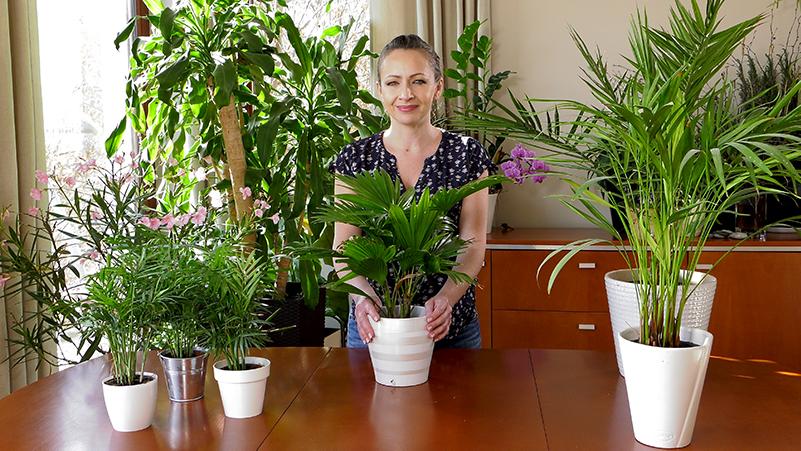 uprawa palm, palmy w domu, jak dbać o palmy, liwistonia przesadzanie, liwistonia uprawa, jak pielęgnować liwistonię australijską, liwistonia australijska wymagania, liwistonia australijska uprawa, jak dbać o liwistonię, podlewanie liwistonii, nawożenie palm, domowe rośliny, uprawa palm w domu