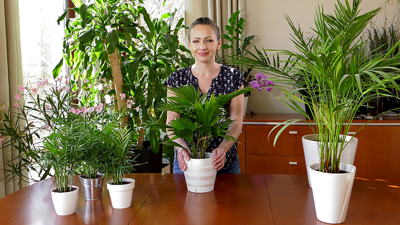 Liwistonia australijska – uprawa palmy