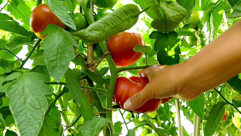 Pomidory – całoroczna uprawa, obfite plony