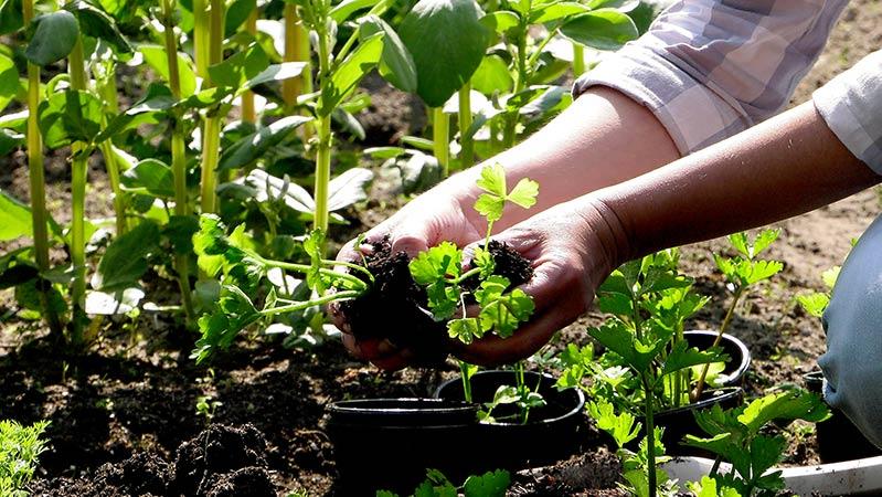 Jak uprawiać seler? informacje o uprawie