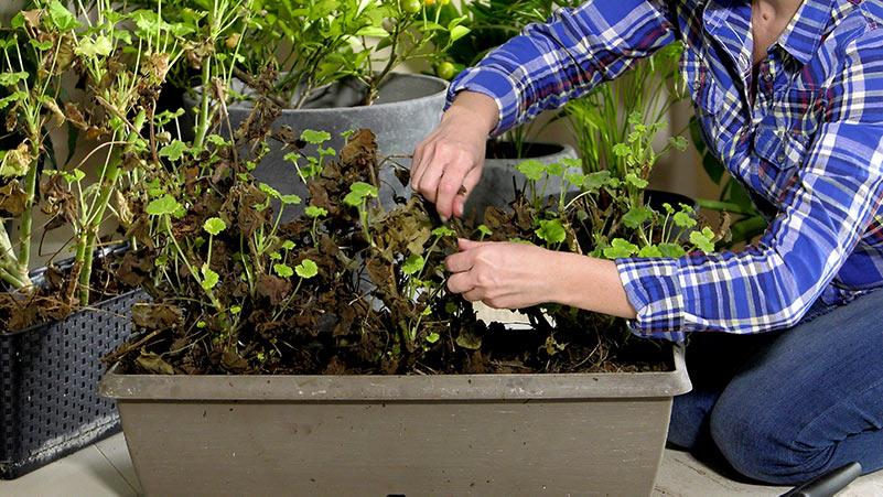 Pelargonie – wybudzanie pelargonii z zimowego snu