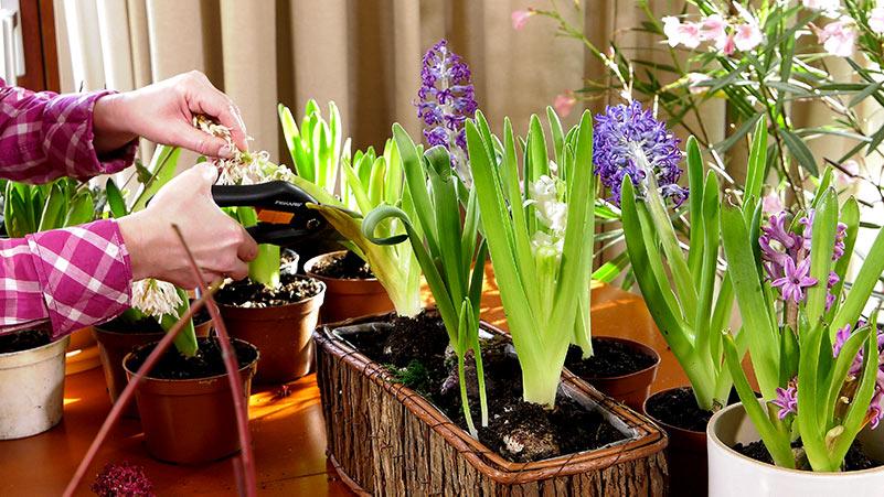 Hiacynty – Jak uprawiać hiacynty w domu?