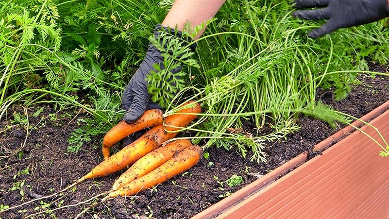 Marchew – Jak uprawiać marchew żeby mieć obfite plony?