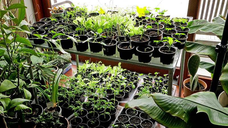 Ogród warzywny w marcu wysiew ziół, uprawa cebuli i arbuza