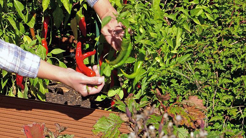 Papryka – Jak mieć udane zbiory – uprawa papryki