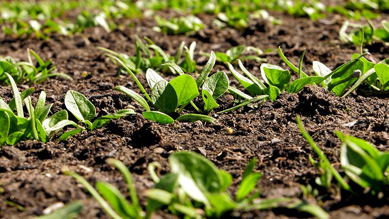 Szpinak – uprawa szpinaku na przedplon i poplon