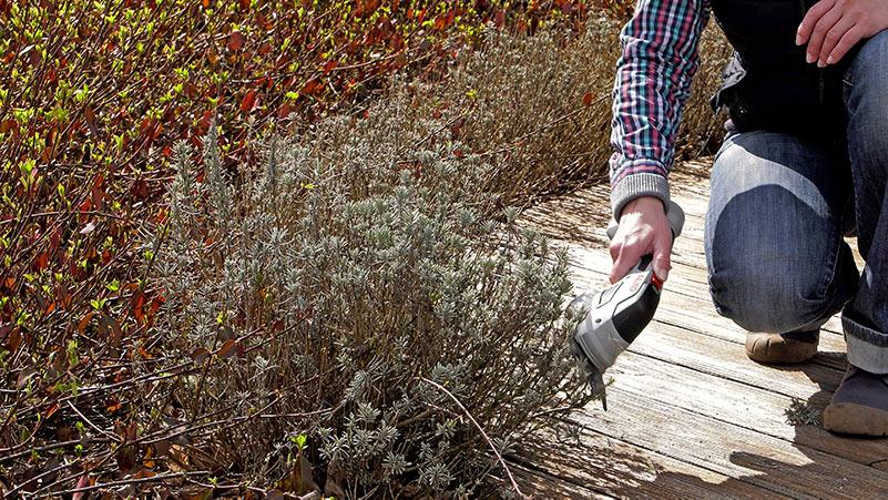 porady ogrodnicze, ogród, poradnik ogrodnika, kalendarz ogrodnika, cięcie lawendy, lawenda, jak ciąć lawendę, kiedy ciąć lawendę, wysiew kwiatów, rozsady, prace w ogrodzie, kwiaty wysiew, co wysiać w kwietniu, kwietniowe wysiewy, tarczniki, miseczniki, wielkanoc, rzeżucha