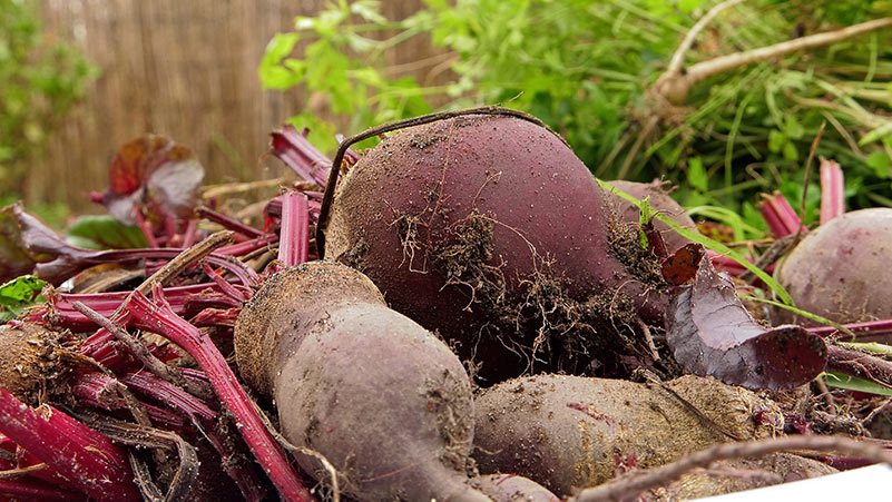 jak uprawiać buraki, buraki ćwikłowe, uprawa buraków, warzywa uprawa, uprawa warzyw, buraki wysiew, nawożenie buraków ,uprawa współrzędna ,choroby buraków ,szkodniki buraków ,kiedy wysiać buraki ,rozsady buraków ,zdrowe buraki ,własne warzywa ,ogród warzywny