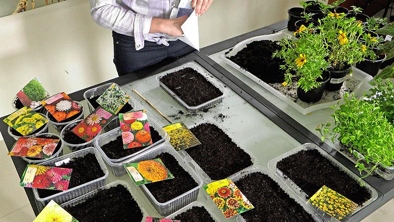 Wysiew kwiatów jednorocznych i pikowanie aksamitek