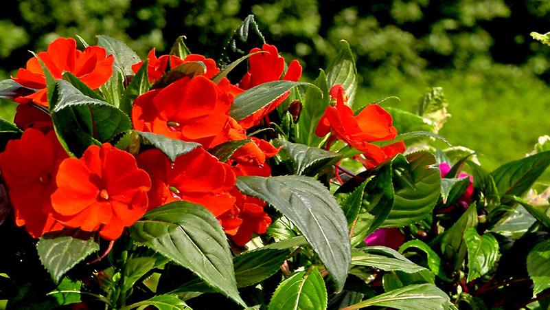 Niecierpki – kwiaty na balkon i taras