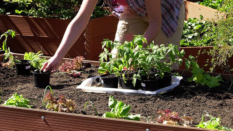Sadzenie pomidorów do gruntu