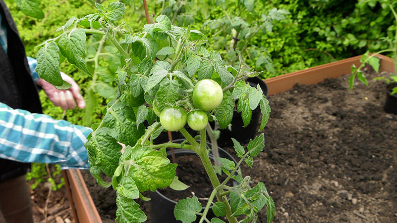 Pomidory koktajlowe – sadzenie na grządce i w donicy