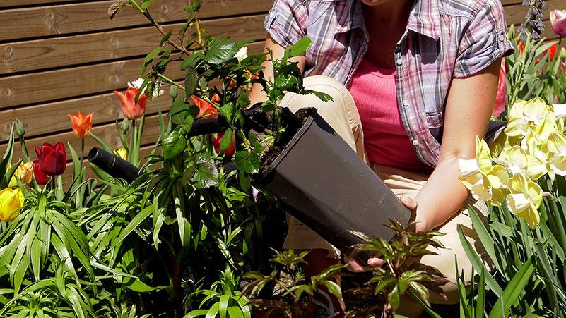 Róże – sadzenie i pielęgnacja