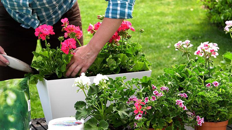 kalendarz ogrodnika, prace ogrodnicze w maju, rok w ogrodzie, co siać w maju, co sadzić w maju, ogród,