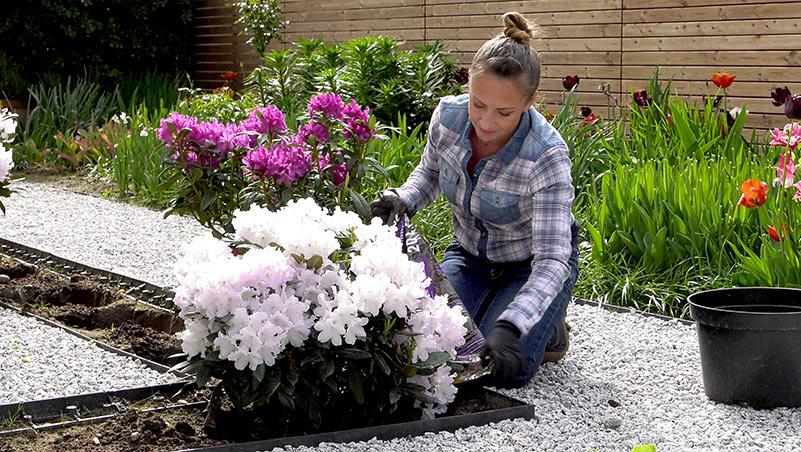 Rododendrony – wymagania i stanowisko