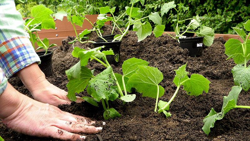 Sadzenie ogórków i innych dyniowatych