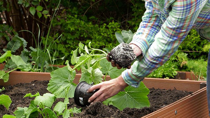 Czerwiec w ogrodzie 30.05 – 06.06 kalendarz ogrodnika