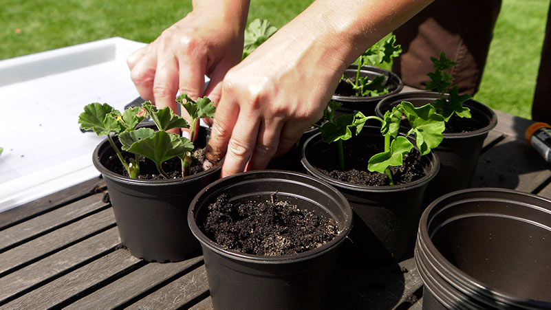 Czerwiec w ogrodzie 21.06 – 27.06 kalendarz ogrodnika