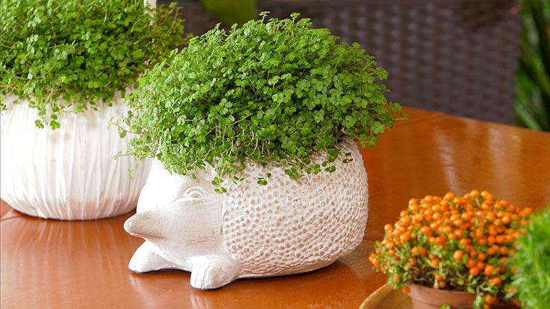 Rośliny przypominające poduszki