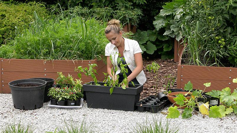 Lepiej późno niż wcale – sadzenie spóźnionych warzyw