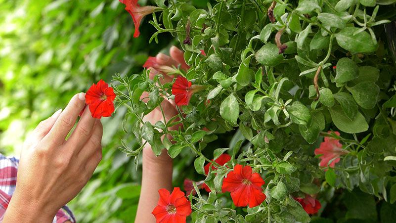 Lipiec w ogrodzie 26.07 – 01.08 kalendarz ogrodnika