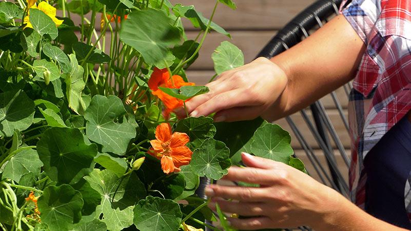 ogród, nasturcje pielęgnacja, kwiaty na balkon, kwiaty na taras, pielęgnacja nasturcji, rozmnażanie nasturcji, jak dbać o nasturcje, kwiaty nasturcji, rozmnażanie nasturcji, kwiaty nasturcji, jadalna nasturcja, wysiew nasturcji