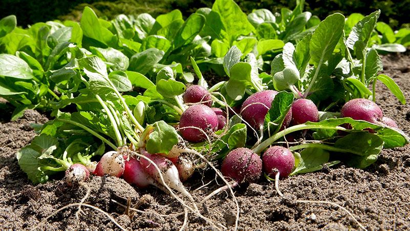 rzodkiewki na poplon, co siać na poplon, wysiew rzodkiewki, rzodkiewki wysiew, warzywa na poplon, jesienny wysiew rzodkiewki, uprawa rzodkiewki, uprawa warzyw, warzywa w ogrodzie, warzywnik, ogród warzywny, co uprawiać na poplon