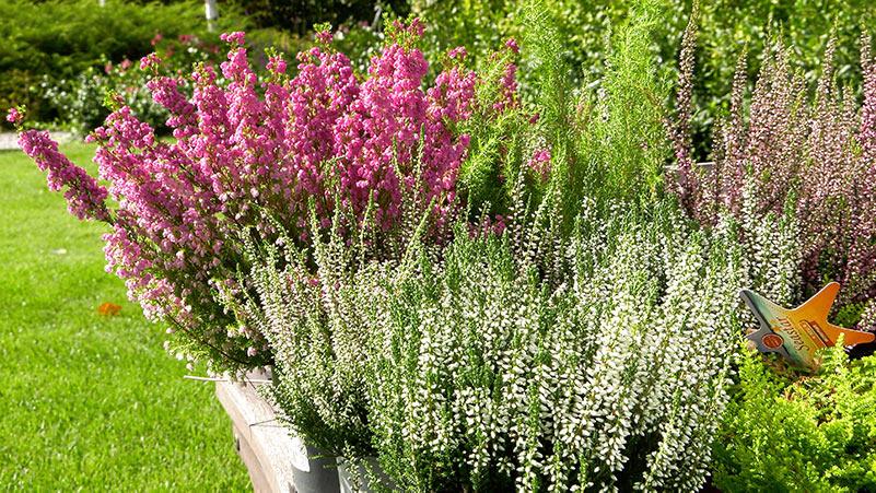 Wrzesień w ogrodzie 30.08 – 05.09 kalendarz ogrodnika
