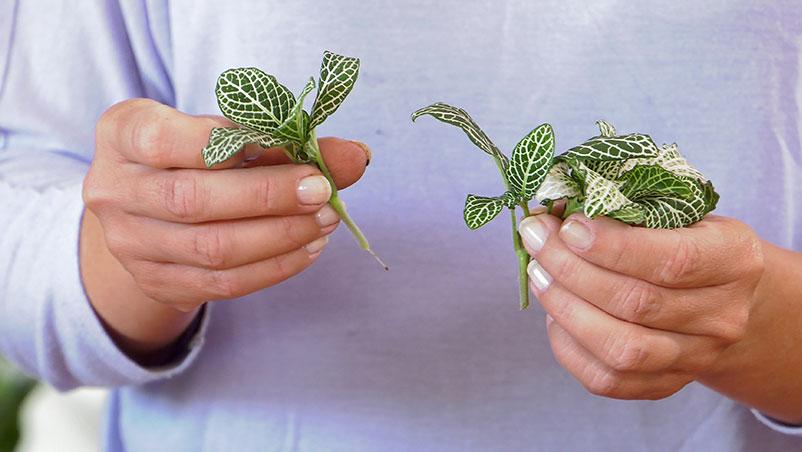 Rozmnażanie roślin przez sadzonki na przykładzie fittonii